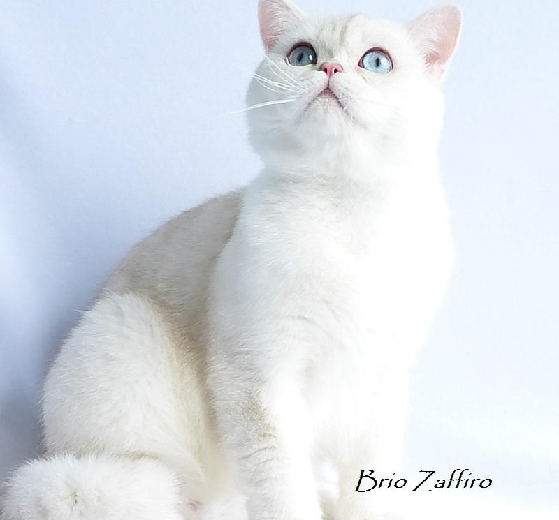Фото голубоглазого кота страйта Ostin Brio Zaffiro шотландской серебристой шиншиллы пойнт из питомника BRIO ZAFFIRO город Москва