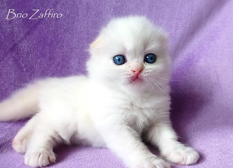Perseus Di Neve Brio Zaffiro highland fold kitten red bicolour colorpoint купить шотландского голубоглазого котенка колорпойнт Москва питомник кошек шотландских биколорный колор пойнт бипойнт bipoint редпойнт красный линкс пойнт с белым кремовый колорпойнт