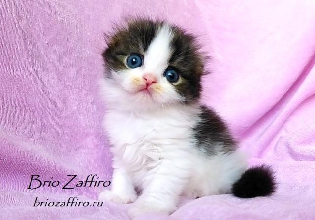 Котенок шотландский вислоухий полудлинношерстный - хайленд фолд - Pascual Brio Zaffiro