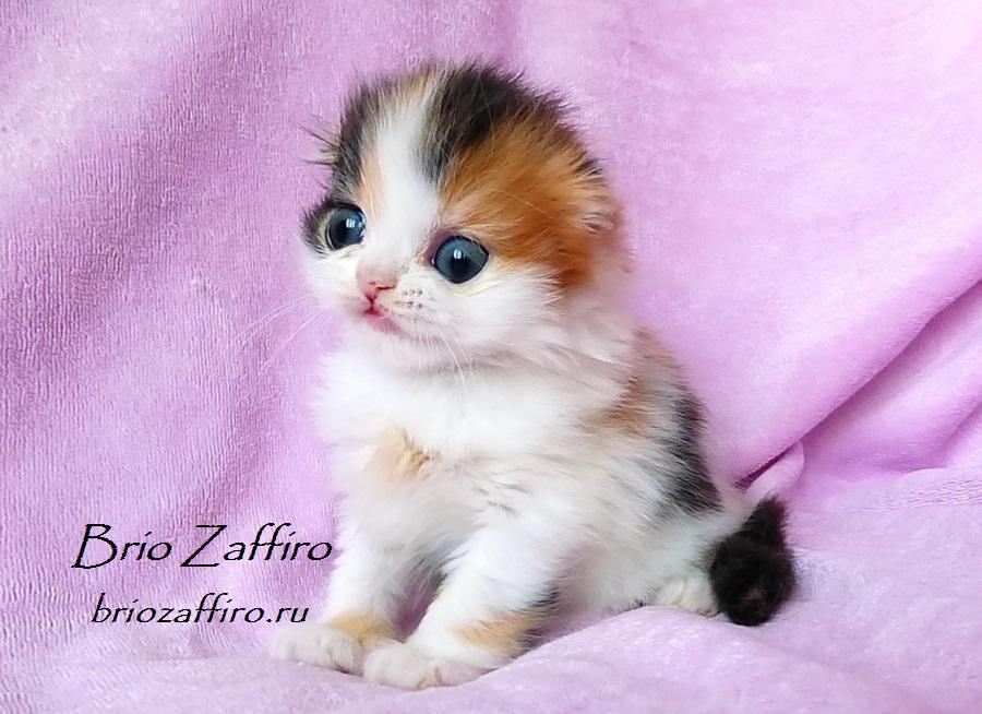 Фото кошки шотландской вислоухой длинношерстной Paulina Brio Zaffiro из Московского питомника