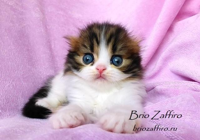 Котенок шотландский вислоухий полудлинношерстный - хайленд фолд - Perun Brio Zaffiro