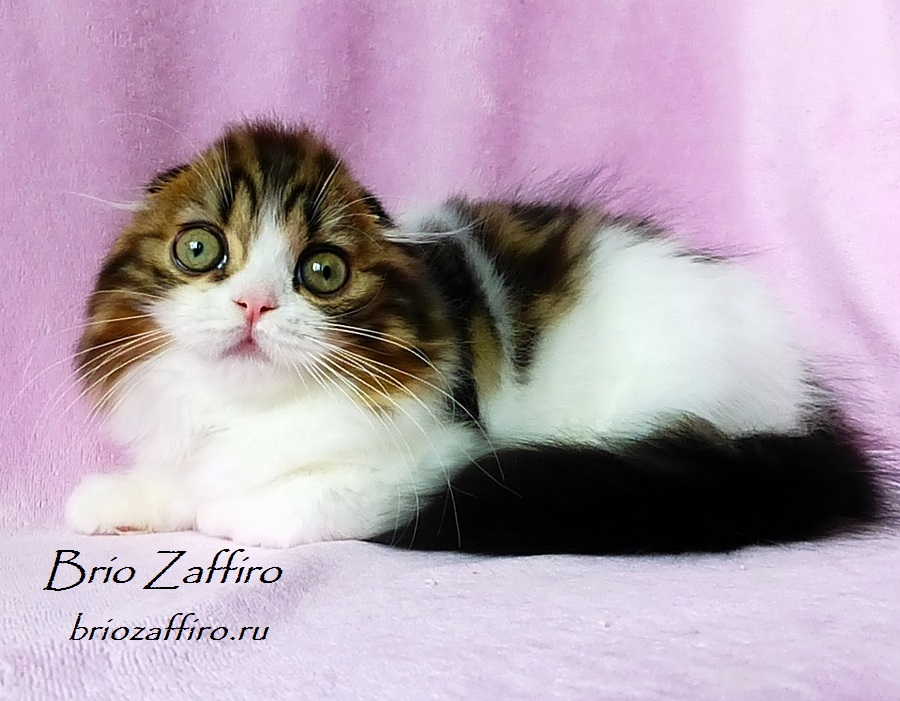 Шотландские котята Москвы. Фото шотландского вислоухого котика Perun мраморного биколора из Московского питомника шотландских кошек BRIO ZAFFIRO. Этот котенок под наблюдением питомника, т.е. интересен питомнику в качестве будущего производителя. Шотландский вислоухий котик Perun Brio Zaffiro является возможным носителем гена колор пойнт и это помимо того, что он сам по себе непередаваемо красив!.Но в нашем питомнике вы всегда сможете подобрать себе другого понравившегося котенка в качестве домашнего любимца или как возможного производителя своего питомника.