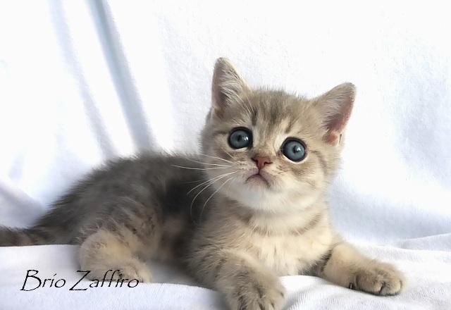 Фото котенка Qleandr Brio Zaffiro голубого мраморного британца с зелеными глазами из питомника британских кошек город Москва купить британца купить котенка британца купить голубого котенка купить мраморного котенка купить голкбого мраморного котенка из питомника кошек Москва