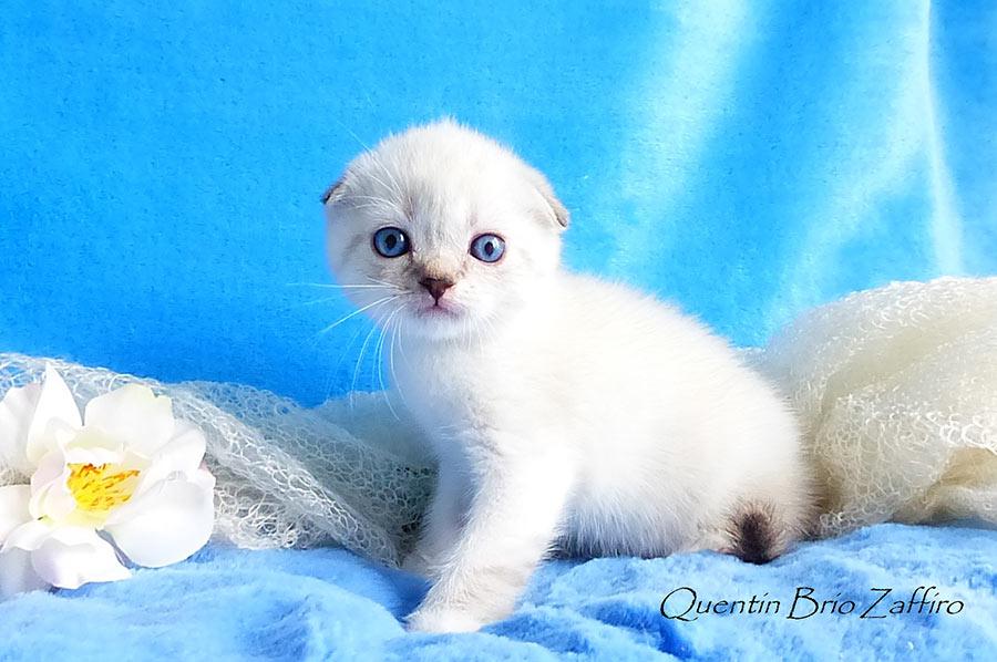Шотландский вислоухий короткошерстный котенок г. Москва