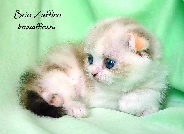 Котенок шотландский вислоухий биколорный колор пойнт Quoteya Brio Zaffiro