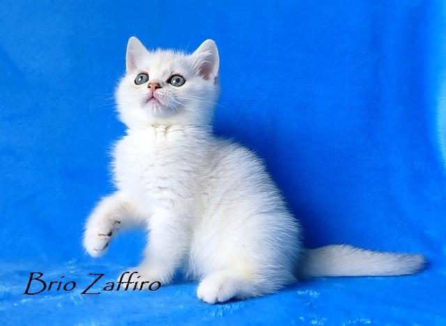 Ralf Brio Zaffiro - котенок британской серебристой шиншиллы из Московского питомника британских шиншилл. Купить британскую шиншиллу в Москве.