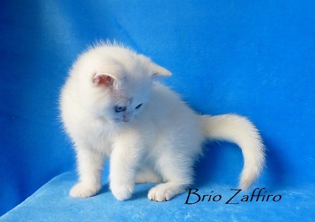 Котенок британской серебристой шиншиллы пойнт - Rebecca