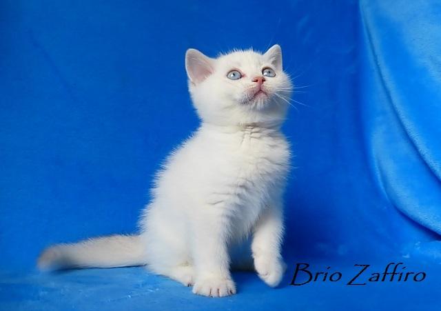 котенок британской серебристой шиншиллы пойнт