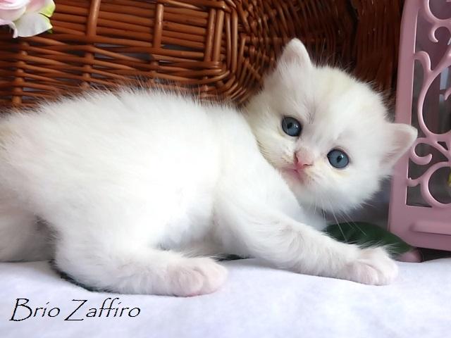 Купить котенка шотландского купить хайленда купить шотландца купить страйта хайленд страйт шотландская длинношерстная шотландская полудлинношерстная котенок ван окрас ван хайленд страйт ван котята Москвы котенок из московского питомника Brio Zaffiro