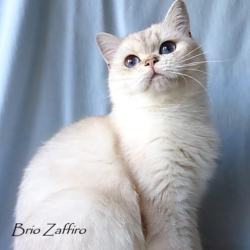 Фото Ximmee Brio Zaffiro british chinchilla point кошки шиншиллы пойнт затушеванной ns1133 из Московского питомника британских шиншилл BRIO ZAFFIRO