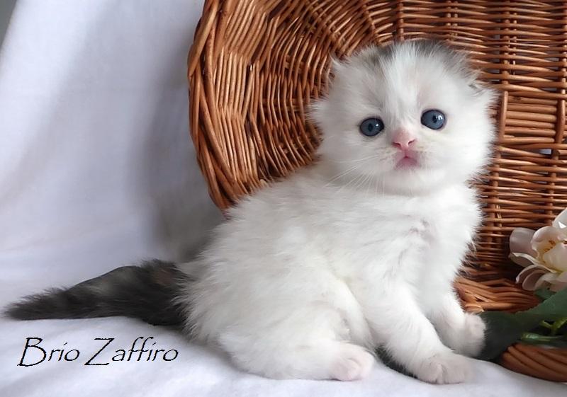 шотландский вислоухий котенок в окрасе черепаха арлекин на серебре, вислоушка кошка шотландская длинношерстная вислоухая, купить котенка шотландского в Москве в питомнике кошек шотландских. Stefania Brio Zaffiro highland fold tortie harlequin