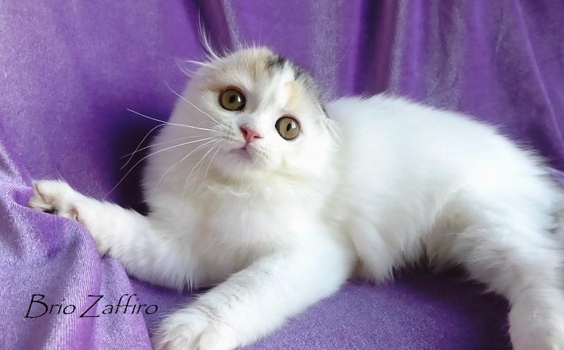 купить котенка, купить шотландского котенка, шотландский вислоухий котенок в окрасе черепаха арлекин на серебре, вислоушка кошка шотландская длинношерстная вислоухая, купить котенка шотландского в Москве в питомнике кошек шотландских. Stefania Brio Zaffiro highland fold tortie harlequin