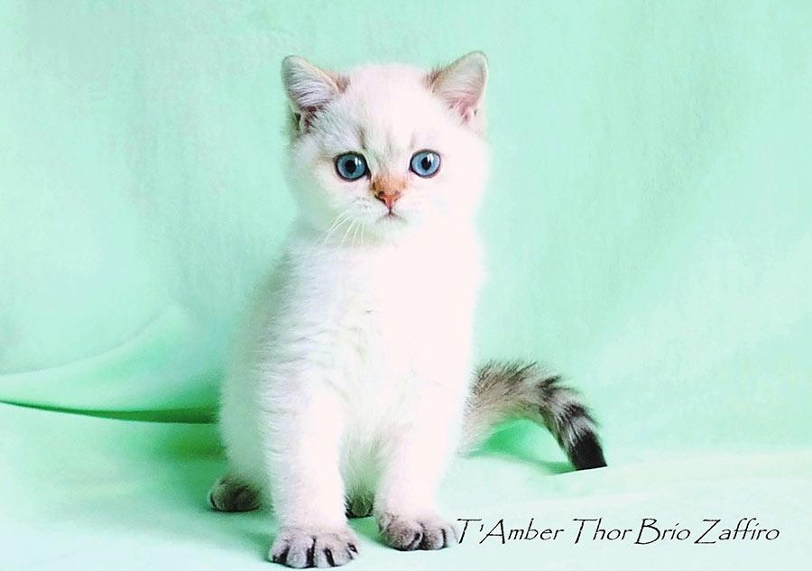 Фото британского кота  TAmber Thor Brio Zaffiro золотистой шиншиллы пойнт ny1133 из питомника британских шиншилл г. Москва