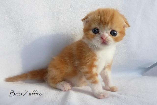 Фото Ticiana Brio Zaffiro котенка шотландского вислоухого красного мраморного с белым. Купить шотландского вислоухого котенка в Москве в питомнике кошек.