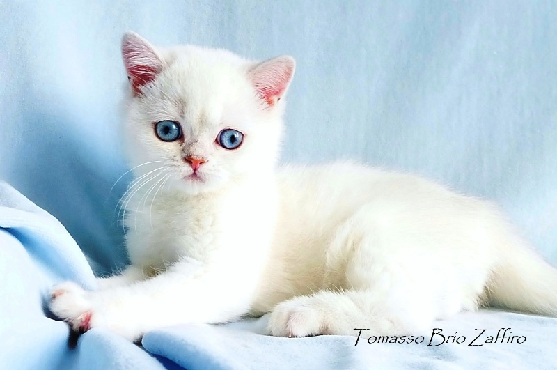 Фотогалерея котика – котенка британской серебристой шиншиллы колорпойнт. Москва красавчика Tomasso - британской серебристой шиншиллы пойнт ns1133 из Московского питомника британских шиншилл колор пойнт BRIO ZAFFIRO