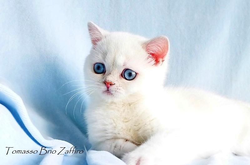 Фото – котенка британской серебристой шиншиллы колорпойнт. Москва котика красавчика Tomasso - британской серебристой шиншиллы пойнт ns1133 из Московского питомника британских шиншилл колор пойнт BRIO ZAFFIRO