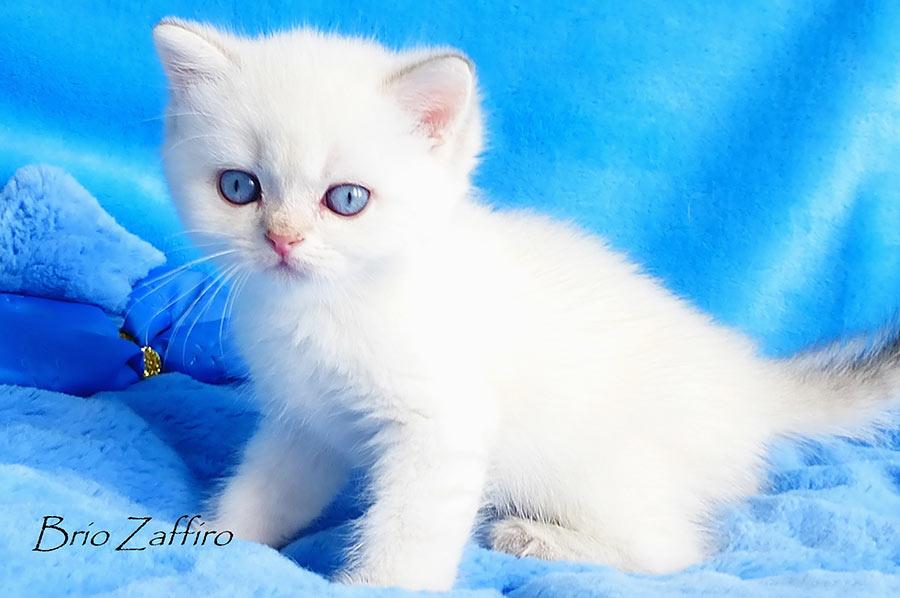 Фото золотистой шиншиллы пойнт ny1133  - голубоглазого кота Umberto Brio Zaffiro из питомника колорных британских шиншилл BRIO ZAFFIRO г. Москва