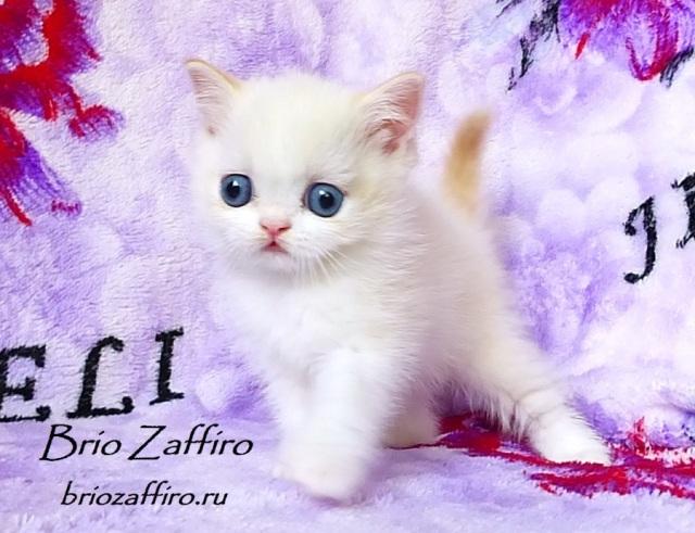 Unique Dar Brio Zaffiro -  шотландский котенок красный колор пойнт с белым, биколорный колорпойнт, Бипойнт. Голубоглазые шотландские котята в Москве. Шотландские вислоухие котята в питомнике в Москве. Шотландцы с голубыми глазами из питомника. Шотландские котята колор пойнт. Колор пойнт шотландский котенок Москва. Хайленд фолд колор пойнт. Хайенд страйт колор пойнт. Длинношерстный котенок колор пойнт. Вислоухий колор пойнт из питомника. Вислоухий котенок с голубыми глазами колор пойнт. Голубоглазые колор пойнты из питомника кошек.Шотландские вислоухие питомник Москва.