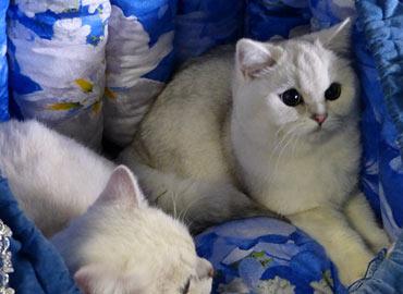 Международная выставка кошек Москва FELINA BELISSIMA