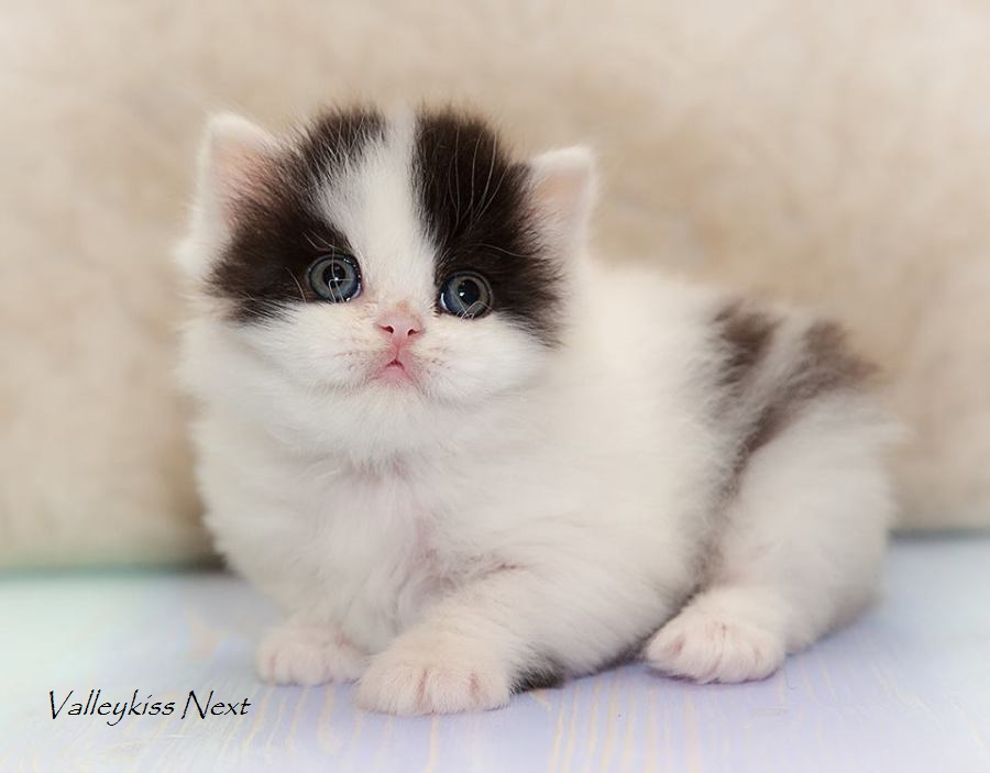 Фото кота Valleykiss Next - шотландского полудлинношерстного ( хайленда страйта ) черного арлекина из Московского питомника шотландских кошек BRIO ZAFFIRO
