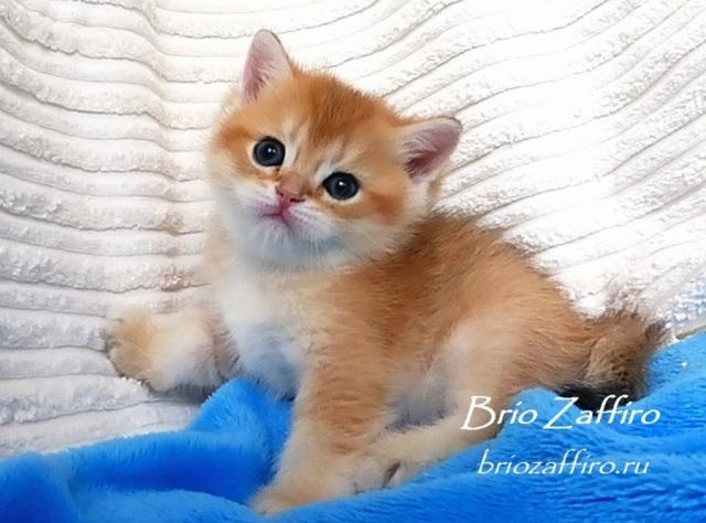 Котик британской золотой шиншиллы