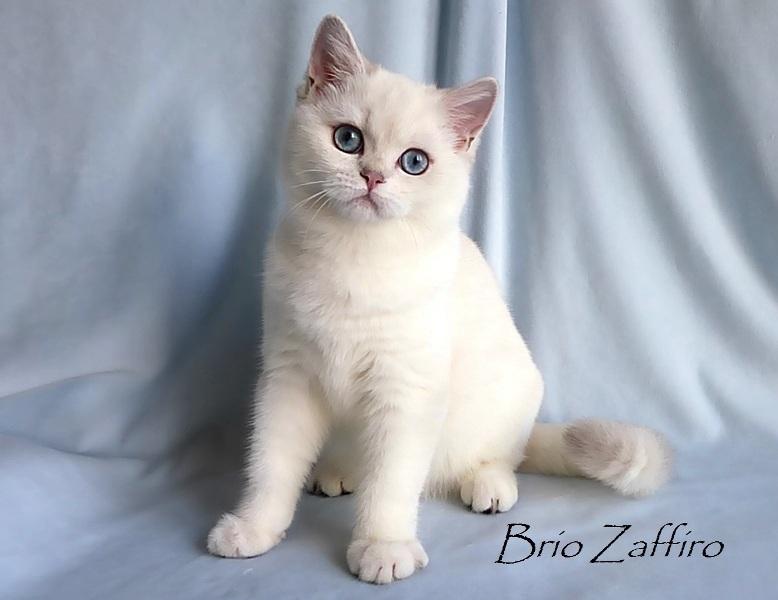Британская шиншилла пойнт котенок Xanta_Brio_Zaffiro Купить британскую шиншиллу Купить британца колорпойнт Серебристая британская шиншилла из питомника британских шиншилл Москва