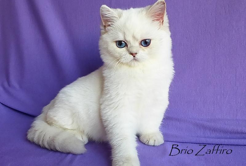 купить котенка шиншиллу в москве Фотографии Xebastian Brio Zaffiro.Британская шиншилла. Москва.