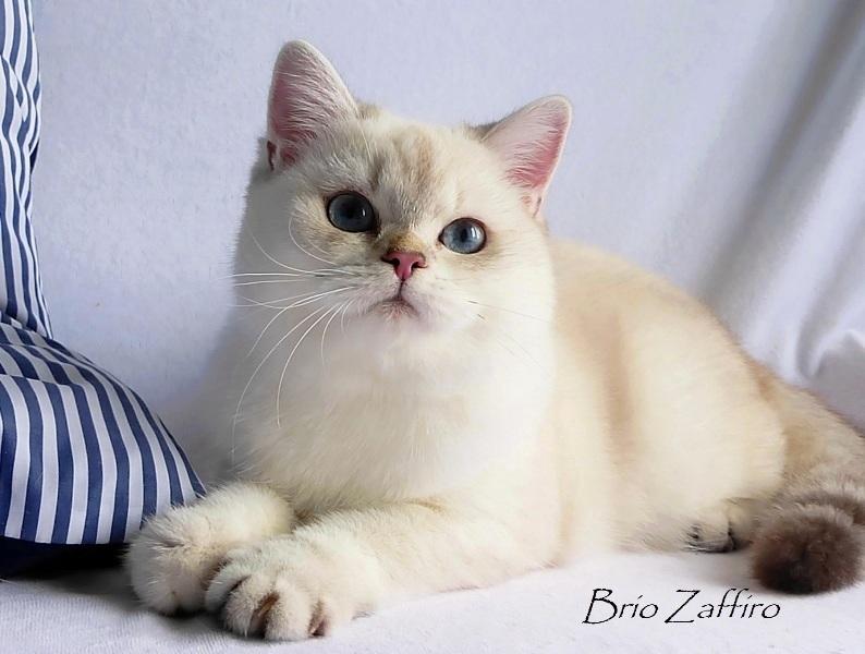 Фото Ximmee Brio Zaffiro golden british chinchilla point кошки золотой шиншиллы пойнт затушеванной ny1133 из Московского питомника британских шиншилл BRIO ZAFFIRO