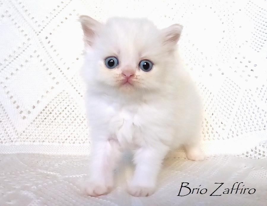 Фото котенка шотландского длинношерстного крем пойнт, биколорного колорпойнт, Ya Nimphae Brio Zaffiro из питомника шотландских кошек колор пойнт город Москва