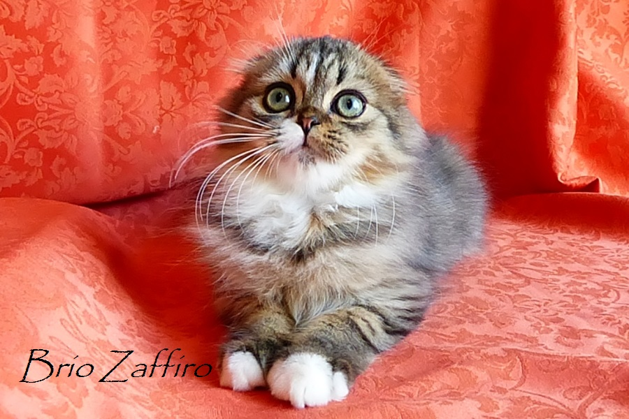 Шотландский вислоухий котенок Zhtephan Brio Zaffiro. Хайленд фолд носилель циннамона и колор пойнт гена. Купить вислоухого котенка в питомнике кошек в Москве.