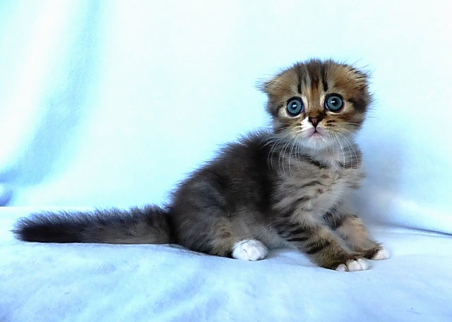 Шотландский вислоухий котенок Zhtephan Brio Zaffiro