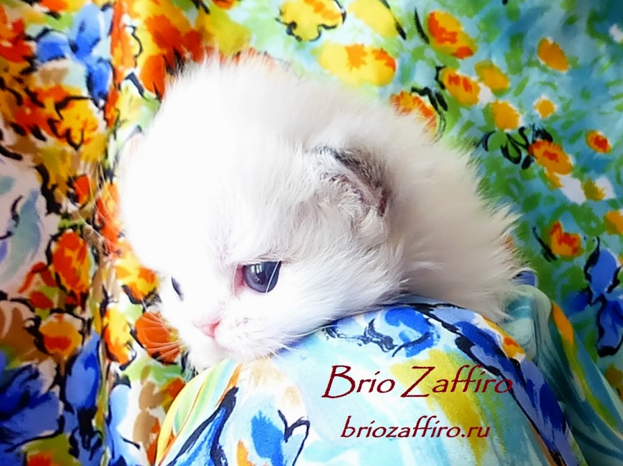 Шотландский биколорный колор пойнт котенок с потрясающей красоты мордочкой и голубыми глазами смотрящими прямо в душу из питомника кошек BRIO ZAFFIRO, город Москва.
