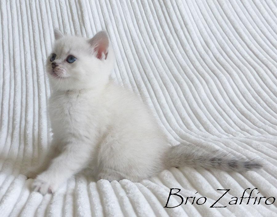 Фото  котенка британской серебристой шиншиллы Москва.