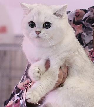 первая британская шиншилла в Московском питомнике кошек BRIO ZAFFIRO