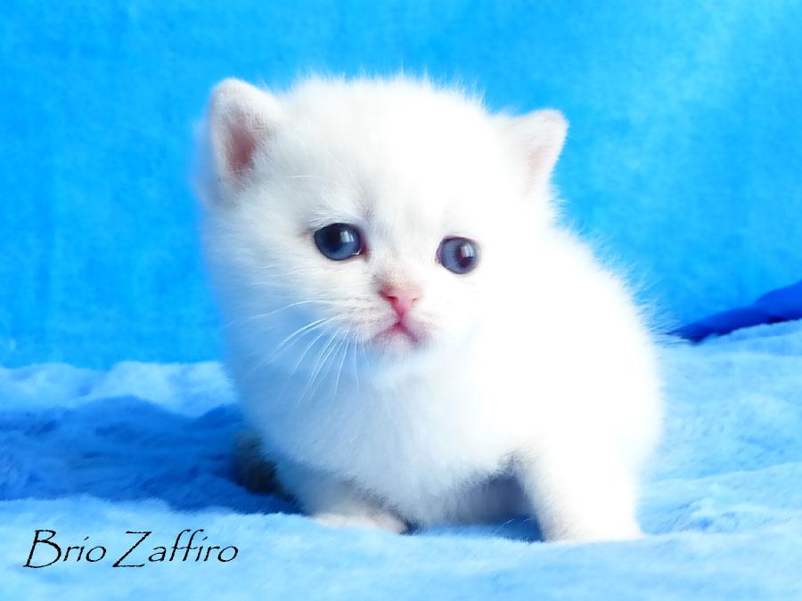 купить котенка британскую шиншиллу в москве Фотографии Ivanhoe Brio Zaffiro.Британская шиншилла. Москва.