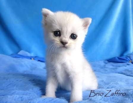 Katarina Brio Zaffiro british silver chinchilla kitten ns11 купить британского котенка в Москве в питомнике кошек