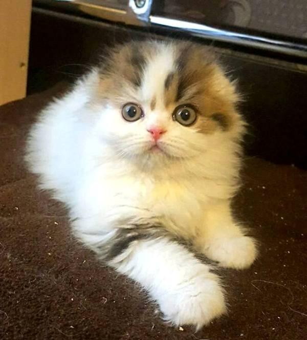 Хайленд фолд арлекин Mos Charm Belle Magnifico из Московского питомника британских и шотландских кошек BRIO ZAFFIRO купить шотландского вислоухого котенка москва кошка красавица