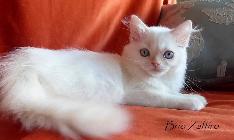 Pablo Patricio Brio Zaffiro highland straight kitten red point хайленд страйт котенок красный колорпойнт купить голубоглазого котенка в Москве в питомнике шотландских кошек