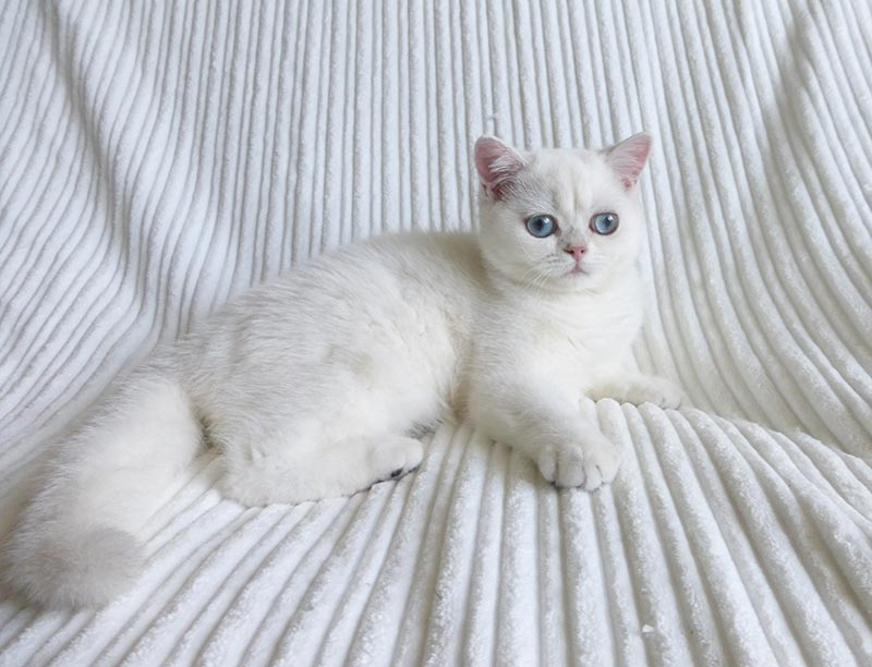 Фото британской короткошерстной кошки SNOWSONG DIANA . Москва.