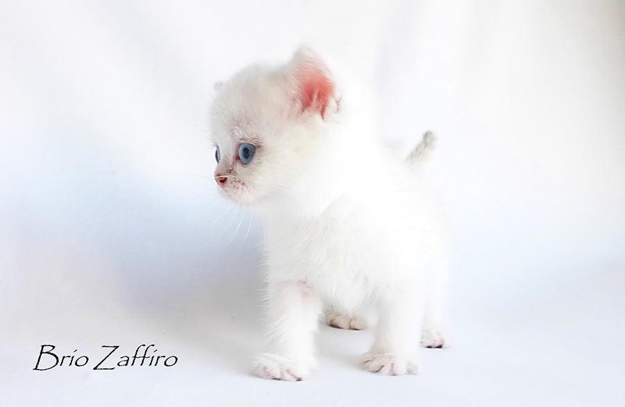 Фотогалерея котика красавчика Tomasso - британской серебристой шиншиллы пойнт ns1133 из Московского питомника британских шиншилл колор пойнт BRIO ZAFFIRO