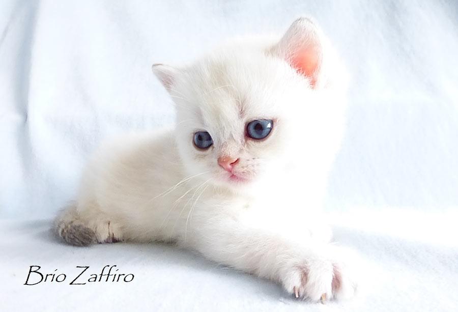 Ulfiero Brio Zaffiro - породный котик редчайшего окраса ay1133 - голубой золотистый затушеванный колорпойнт из Московского питомника британских шиншилл BRIO ZAFFIRO